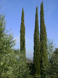 Cupressus Arte Topiaria